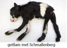 Schmallenbergvirus1