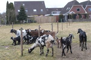 geiten in nieuwbouw klaas scheper